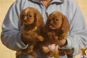 two king  charles    spaniel ready for adoption