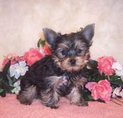 affection yorkie puppies for sale?