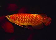 Healthy Red Arowana Fish for sale