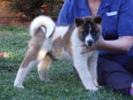 CUTE AND LOVABLE AKITA PUPPIES  FOR  ADOPTION