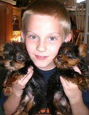 Teacup Yorkie Puppies For Adoption Ads
